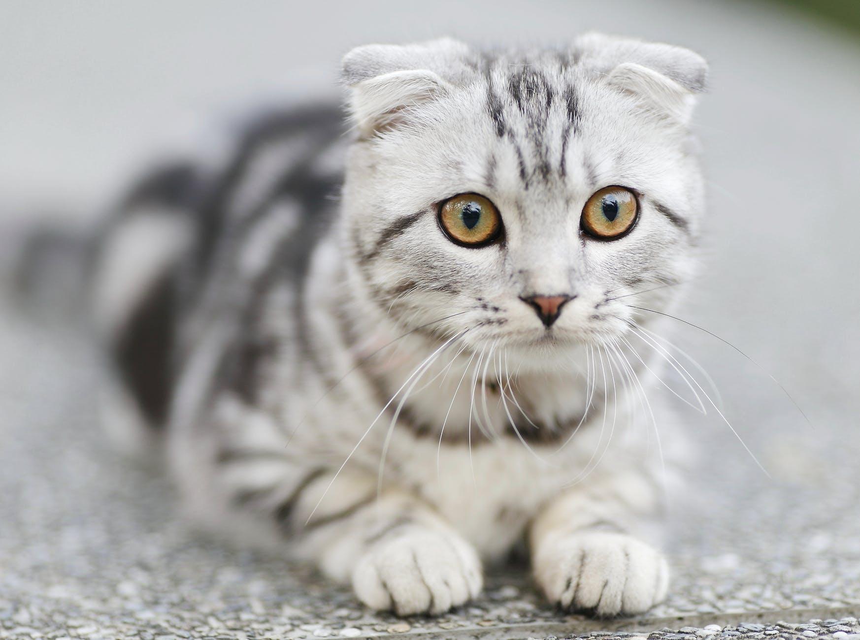 I gatti da tenere in casa, qual è il gatto più affettuoso di cui prendersi cura?